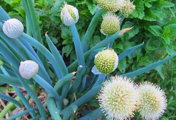 Зеленый лук из чернушки
