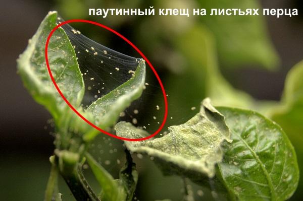 Паутинный клещ на листе