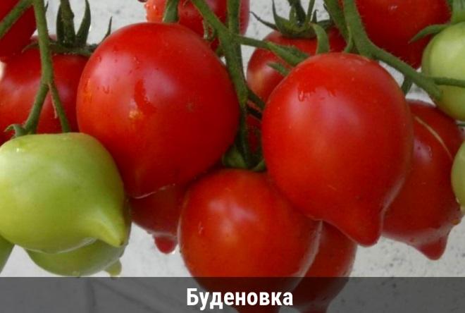 Сорт Буденовка