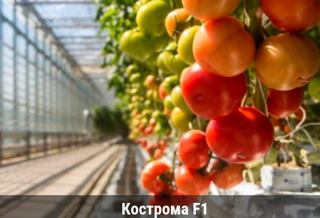 Сорт Кострома