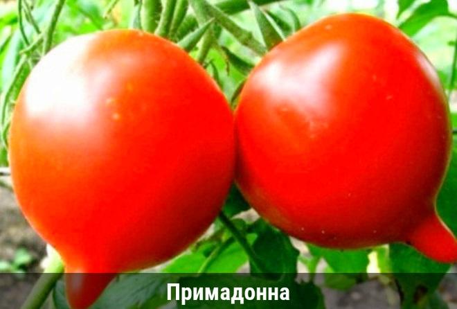 Сорт Примадонна