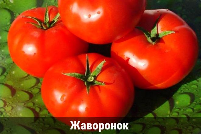 Сорт Жаворонок