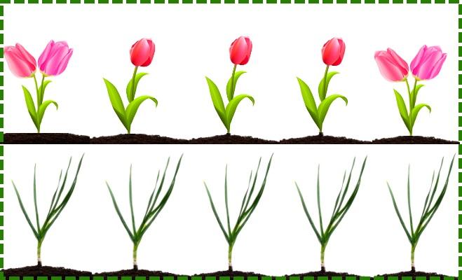 Чеснок и тюльпаны на грядке