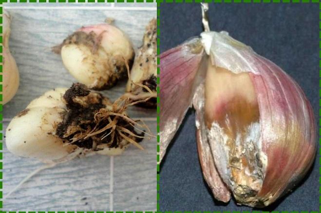 Поражение чеснока грибком
