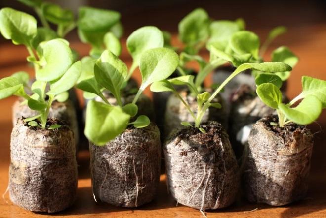 Рассада капусты в торфяных горшочках