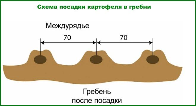 Схема посадки картофеля в гребни